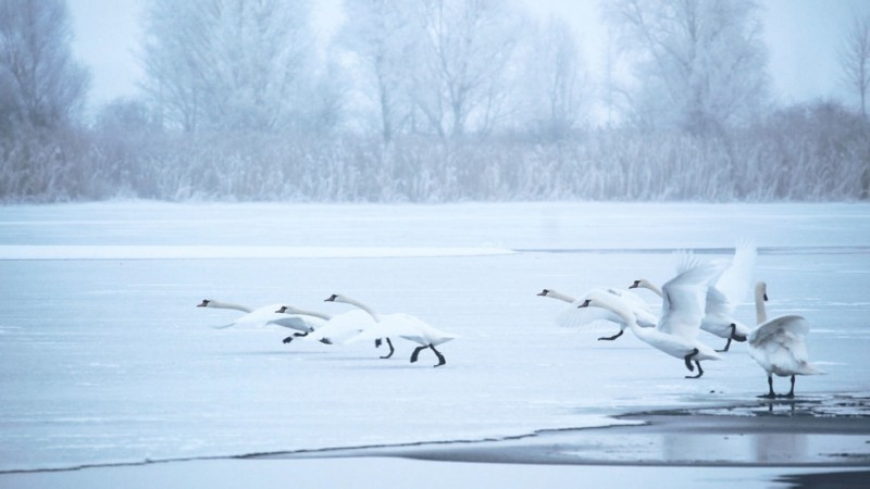 Swans like Finland for some weird reason ([Pixabay](https://pixabay.com/photos/swans-winter-lake-frozen-cold-1991829/))